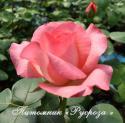PANTHERE ROSE (Пантэр Роз или Розовая пантера)