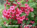 "Вейгела цветущая ""Бристол Руби"" (Weigela florida ""Bristol Ruby"")"