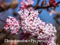 "Калина боднантенская ""Дон"" (Viburnum bodnantense ""Dawn"")"