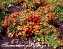 "Лапчатка кустарниковая ""Red Ace"" (Potentilla fruticosa ""Red Ace"")"