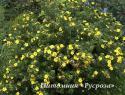 "Лапчатка кустарниковая ""Хакманс Гигант"" (Potentilla fruticosa ""Hachmann's Gigant"")"