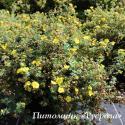 "Лапчатка кустарниковая «Мэдисин Уил Маунтайн» (Potentilla fruticosa ""Medicine Wheel Mountain"")"