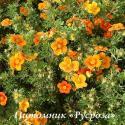 """Лапчатка кустарниковая """"Хоплейс Оранж"""" (Potentilla fruticosa """"Hopleys Orange"""")"""