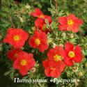 "Лапчатка кустарниковая ""Мэрион Ред Робин"" (Potentilla fruticosa ""Marian red Robin"")"