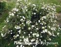 Лапчатка кустарниковая «МакКейс Уайт» (Potentilla fruticosa «McKay's White»)