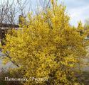 "Форзиция средняя ""Линвуд"" (Forsythia intermedia ""Lynwood"")"