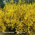 "Форзиция средняя ""Уикенд""  (Forsythia intermedia ""Weekend"" или ""Cortalyn"")"