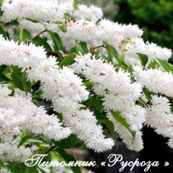 Дейция шершавая (Deutzia scabra)