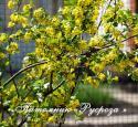 Смородина душистая (Ribes odoratum)