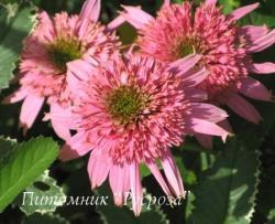"""Эхинацея пурпурная """"Cotton Candy"""" (Echinacea purpurea)"""