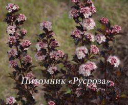 """Пузыреплодник калинолистный (Physocarpus opulifolius) """"Tiny wine"""""""