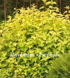 """Пузыреплодник калинолистный (Physocarpus opulifolius) """"Angel gold"""""""