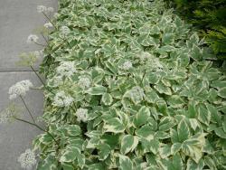 Сныть обыкновенная Variegata (Aegopodium podagraria)