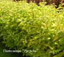 Дерен белый aurea (Cornus alba aurea)