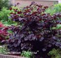 """Лещина крупная """"Пурпурная"""" (Corylus maxima """"Purpurea"""")"""