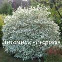 Дерен белый Sibirica Variegata (Cornus alba Sibirica Variegata)