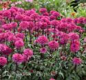 "Эхинацея пурпурная ""Blackberry Truffle"" (Echinacea purpurea)"