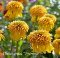 "Эхинацея пурпурная ""Pineapple Sundae"" (Echinacea purpurea)"