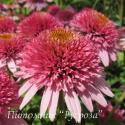 "Эхинацея пурпурная ""Butterfly Kisses"" (Echinacea purpurea)"