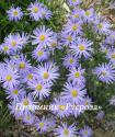 """Калимерис вырезной """"Blue Star"""" (Kalimeris incisa)"""