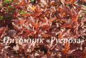"""Пузыреплодник калинолистный (Physocarpus opulifolius) """"Little angel"""""""