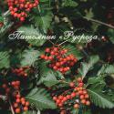 Рябина промежуточная или шведская (Sorbus intermedia)