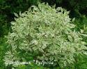 """Дерен белый """"Elegantissima"""" (Cornus alba """"Elegantissima"""")"""