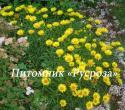 Девясил мечелистный (Inula ensifolia)