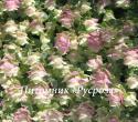 "Душица круглолистная ""Kent Beauty"" (Origanum rotundifolium)"
