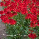 """Эхинацея пурпурная """"Eccentric"""" (Echinacea purpurea)"""