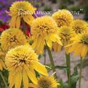 "Эхинацея пурпурная ""Eccentric Yellow"" (Echinacea purpurea)"