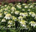 "Эхинацея пурпурная ""White Double Delight"" (Echinacea purpurea)"