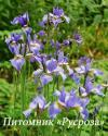 "Ирис сибирский  ""Blue King"" (Iris sibirica)"