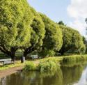 "Ива ломкая ""Буллата""  (Salix fragilis 'Bullata')"