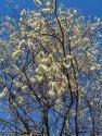 Ива росистая (Salix rorida)