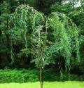 """Ива """"Свердловская Плакучая"""" (Salix blanda x S. alba)"""