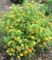 "Лапчатка кустарниковая ""Танжерин"" (Potentilla fruticosa ""Tangerine"")"