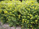 """Лапчатка кустарниковая """"Голдфингер"""" (Potentilla fruticosa """"Goldfinger"""")"""