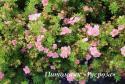 """Лапчатка кустарниковая """"Пинк Куин"""" (Potentilla fruticosa """"Pink Queen"""")"""
