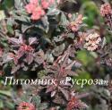 """Пузыреплодник калинолистный (Physocarpus opulifolius) """"Little devil"""""""