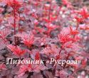 """Пузыреплодник калинолистный (Physocarpus opulifolius) """"Lady in red"""""""