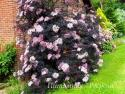 "Бузина черная (Sambucus nigra) ""Black Lace"""