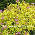 "Спирея японская ""Golden princess"" (Spiraea japonica) ""Голден принцес"""