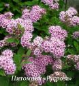 "Спирея японская ""Little princess"" (Spiraea japonica) ""Литл принцес"""