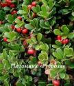 Толокнянка (Arctostaphylos uva-ursi)