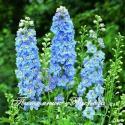 Дельфиниум SKY BLUE WHITE BEE