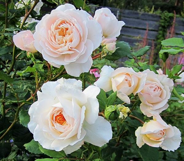 Цветок: розово-абрикосовый до ...: www.rusroza.ru/shop/types/item/1/8