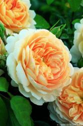 CROCUS ROSE (EMANUEL) (Крокус Роуз)