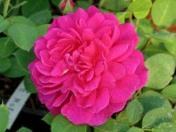 SOPHY'S ROSE (Софиз Роуз)
