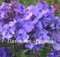 """Флокс метельчатый """"Blue Paradise"""" (Блю Передайз)"""